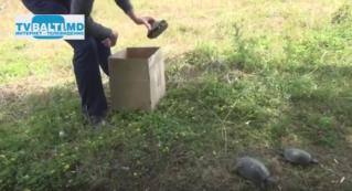 5 черепашек ушли в свободное плаванье в Бельцкий водоем