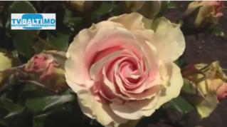 Выращивание роз с применением экологических технологий