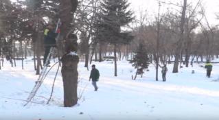 Обрезка деревьев в Бельцах в Центральном парке — сюжет из жизни города