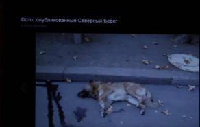 #STOPFAKE. Активист ПСРМ заявил, что в Бельцах травят собак.