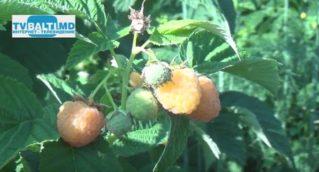 Урожай малины в самом разгаре…